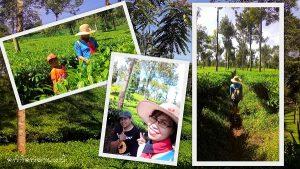 Agrowisata Tambi Dieng